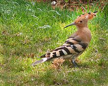 Hoopoe - national bird of israel