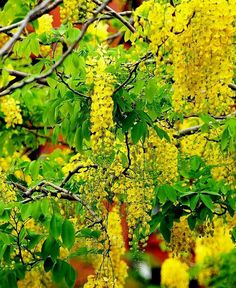 Blossom Trees, Palawan, Flowering Trees, Garden Plants, Bonsai, Seeds, Projects To Try, Fruit, Flowers