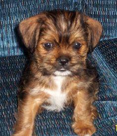 chihuahua shih tzu mix puppies for sale | Zoe Fans Blog