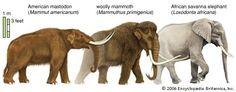 extinct american mastadon | American Mastodon - Mammut americanum