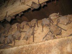 Mexican free tail bats, Mary Cummins, Animal Advocates | Flickr