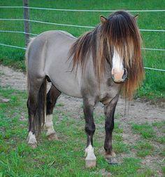 A grullo miniature pony stallion