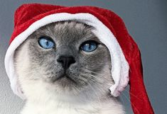 Cat Safety Tips for the Holidays, including lots of Winter tips for our Northern Hemisphere friends. This article from Winter Tips, Winter Hacks, Keep Cats Away, Types Of Christmas Trees, Winter Cat, Outdoor Cats, Safety Tips, Holiday Festival, New Toys