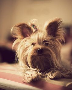 Yorkshire Terrier – Energetic and Affectionate Yorkies, Cute Puppies, Dogs And Puppies, Animals And Pets, Cute Animals, Yorshire Terrier, Yorkshire Terrier Puppies, Yorkie Puppy, Dogs