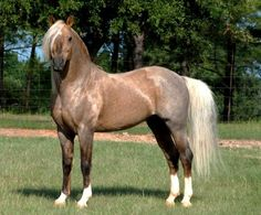 Welsh Pony sec B, stallion... fantastic colour!