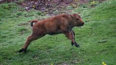 """Image copyright                  AP  Officials at the famous Yellowstone National Park in the US have revealed that they had to put down a newborn bison after some tourists put it in the boot of their car. They have warned visitors to keep their distance from wildlife for the safety of both humans and animals. The bison was rejected by its herd after contact with the people. The park said it was just one example of """"inappropriate, dangerous and illega"""