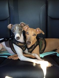 I love my Italian Greyhounds