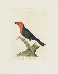 Abyssinian Plant-cutter - Australia USD $85 John Latham General History of Birds Prints
