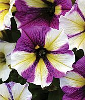 Petunia, Blue a Fuse  A dizzying, dazzling array of color patterns.  more info  Product Details  lifecycle: Annual  Height: 12-14 inches  Spread: 12-14 inches  Sowing Method: Indoor Sow
