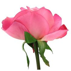 """This rose has a realistic look and feel and will look great in a vase with others or use in a floral arrangement.  This beautiful True Touch Carolina Rose is 27"""" long with its stem. The flower is 1 1/2"""" x 2 1/4"""" and there are 9 leaves averaging 2"""" x 1 3/4"""" in size."""