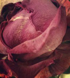 Rose flower almost going died some days the colors are changing into deep tonalities