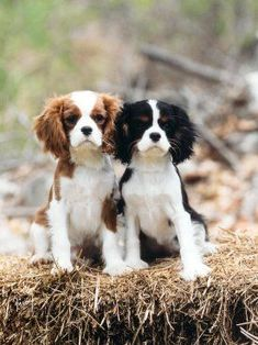 Cavalier King Charles Spaniels~blenheim and tri-color. #CavalierKingCharlesSpaniel