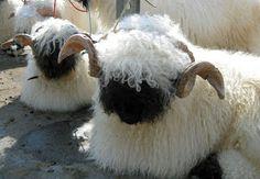 Weben einige meiner Arbeiten - Weaving some of my woven pieces Happy Animals, Nature Animals, Cute Baby Animals, Farm Animals, Valais Blacknose Sheep, Cattle Farming, Cute Sheep, Fluffy Animals, Animal Paintings