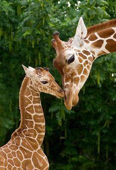 Giraffes...I love giraffes.