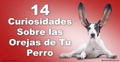 Las orejas de los perros vienen en muchas formas y tamaños diferentes, y las usan para algo más que solo un agudo sentido del oído. http://mascotas.mercola.com/sitios/mascotas/archivo/2016/04/08/14-datos-sobre-las-orejas-de-perros.aspx