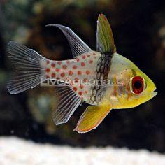 Spotted Cardinal fish  AKA Pajama Cardinal