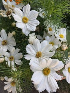 Cosmos annuels blancs, Jardins Jardin aux Tuileries, Paris 1er (75)Quelques floraisons printanières blanches #fleurs #printemps #Paris http://www.pariscotejardin.fr/2017/06/quelques-floraisons-printanieres-blanches/