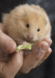 Hamster | Top 15 most cutest hamster photos