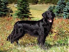 Flat-Coated Retriever Dog Breed Information Flat Coated Retriever, Retriever Dog, Akc Breeds, Dog Artwork, The Kennel Club, Real Dog, Spaniel Dog, Service Dogs, Rescue Dogs
