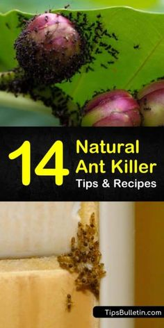 Learn the best natural ant killer methods for outside and indoors. These pest control tips are safe for pets and are perfect for home and for garden use. Ants In Garden, Veg Garden, Garden Pests, Garden Care, Ant Killer Borax, Borax For Ants, Ant Killer Recipe, Ant Spray, Gardens