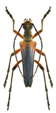 Stenocorus meridianus