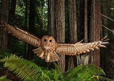 Humboldt Redwoods Park in California - northern spotted owl. photo by Michael Nichols.