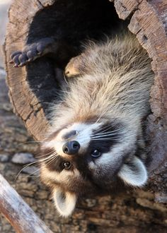 Raccoon having fun Woodland Creatures, Cute Creatures, Beautiful Creatures, Animals Beautiful, Woodland Animals, Cute Raccoon, Racoon, Cute Funny Animals, Cute Baby Animals