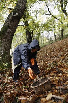 Autumn - Collecting chesnuts #Galicia