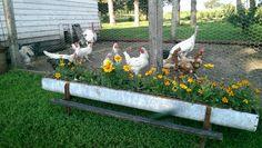 My chicken feeder planter. Full of Jester marigolds and Indian summer brown eyed Susans