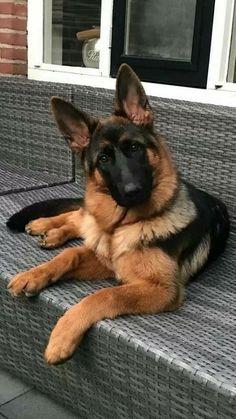 Loyal #dogsandpuppiesgermanshepherd