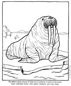 Walrus coloring sheets to color - These free printable zoo animal coloring sheets of zoo animals pictures are fun for kids. Zoo Animal Coloring Pages, Dinosaur Coloring, Coloring Pages For Kids, Colouring Pics, Coloring Sheets, Animal Templates, Polar Animals, Wild Animals, Drawing Activities