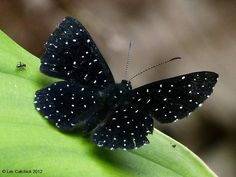 Echydna punctata (Common name: starry night metalmark) = So pretty, a black butterfly with white polka dots. Papillon Butterfly, Butterfly Kisses, Butterfly Flowers, Beautiful Bugs, Beautiful Butterflies, Beautiful Creatures, Animals Beautiful, Moth Caterpillar, Butterfly Pictures