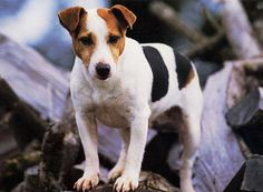 Jack Russell Terrier | jack-russel-terrier-filhote-11