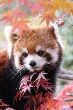 Red panda by Nature Animals, Animals And Pets, Red Panda Cute, Cute Little Animals, Fluffy Animals, My Spirit Animal, Animal Photography, Animals Beautiful, Mammals