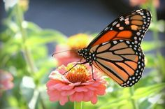 """Diary of Monarch Migration:  The """"super-generation"""" of butterflies that migrates to Mexico each year is simply amazing. Learn about the monarch migration journey. birdsandblooms.com"""