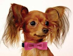 Classic Bowtie Dog Collar Collection - All Metal Buckles. Available at http://doggyinwonderland.com/item_1737/Classic-Bowtie-Dog-Collar-Collection--All-Metal-Buckles.htm