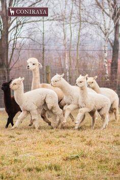Come on, breakfast has come! #alpaca #coniraya #alpakino #alpacas