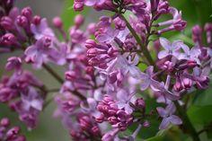lilac 009 by carleton500gardener, via Flickr