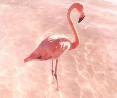 Pink flamingo Flamingo Beach, Pink Flamingos, Animals, Luxury, Animaux, Animal, Animales, Animais