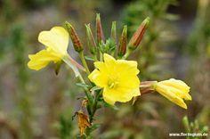 Heimische Pflanzen spindelstrauch oder pfaffenkapperl euonymus europaeus http