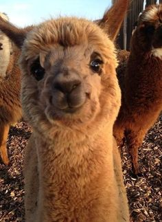 Baby Farm Animals, Baby Animals Pictures, Baby Cows, Cute Animal Photos, Happy Animals, Animal Babies, Smiling Animals, Funny Animal Pictures, Super Cute Animals