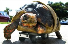 When this rescue tortoise was found in the Californian hills, her front left leg was in tatters. Vets were concerned she'd never move properly again, but one of her rescuers came up with a clever idea: toy car wheels that she is able to steer with her right leg.