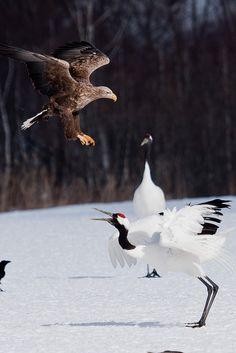 Red Crowned Crane, Kushiro, Hokkaido, Japan of Prey From Pin Board All Birds, Birds Of Prey, Nagano, Eagles, Bird Wings, Beautiful Birds, Beautiful Creatures, Animal Kingdom, Bald Eagle