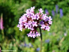Ich mag es bunt und vielfältig. Ich mag die Abwechslung von würzigen Kräutern, zarten Blüten, knackigem Gemüse, blumigen Düften, verschwenderisch großen Blütenteppichen, sich im Wind wiegenden langen dürren Stängeln. Ich mag die Wildheit der Bienenwiese mit ihrem summenden Besuchern, ich … Weiterlesen →