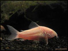 Cory Cats ~ Corydoras Aeneus Albino. My favorite of all the fish.