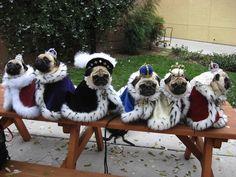 Royal Pugs #puginvasion #pugs #king #queen