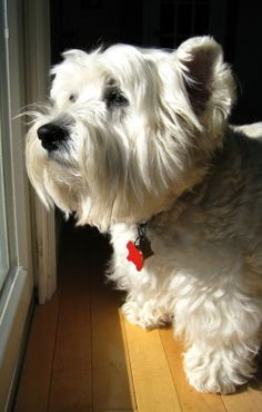 Westie sizing up the worthiness of this National Dog Day.