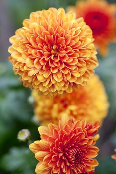 Autumn Colour: Chrysanthemum 'Bruno Bronze'. Photo by Paul Debois. To see other chrysanthemums, visit http://www.gardenersworld.com/plants/search/name/chrysanthemum/