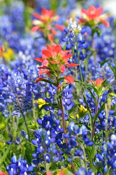 Bluebonnets and wildflowers near Bristol, Texas