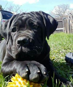 This Cane Corso pup reminds me of mine, and I have a similar picture! Cane Corso Italian Mastiff, Cane Corso Mastiff, Cane Corso Dog, Cane Corso Puppies, Pitbull Mastiff, Mastiff Mix, Big Dogs, I Love Dogs, Cute Dogs